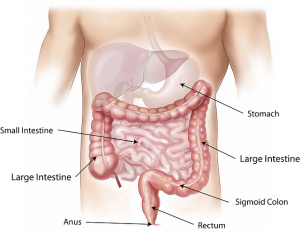 abdomen with organs named   SIBO Test Australia   Perpetual Wellbeing