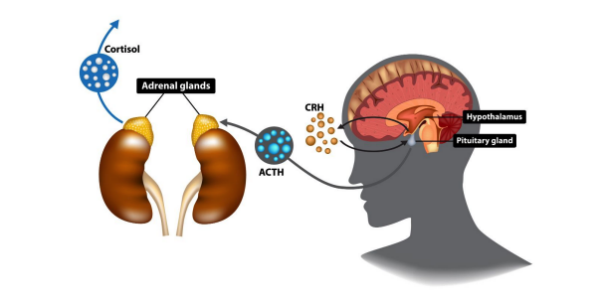 diagram of the adrenal glands to help explain what is adrenal fatigue   Perpetual Wellbeing