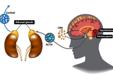 diagram of the adrenal glands to help explain what is adrenal fatigue | Perpetual Wellbeing