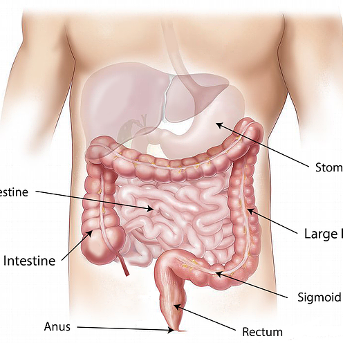abdomen with organs named | SIBO Test Australia | Perpetual Wellbeing